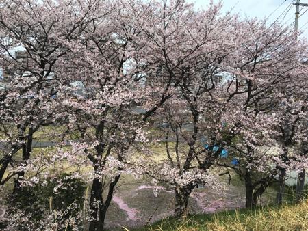 kusatsugawa-sakura2