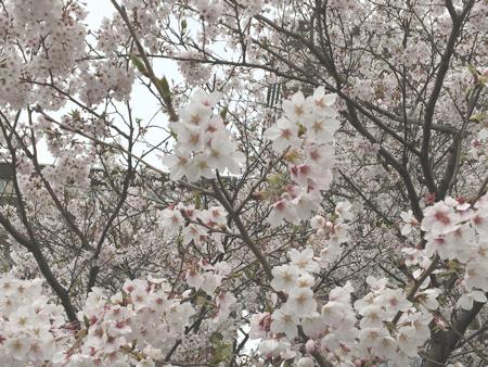 kusatsugawa-sakura4
