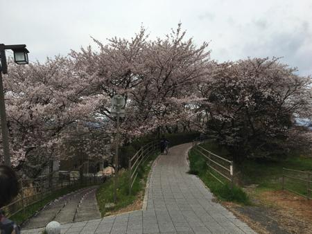 kusatsugawa-sakura6