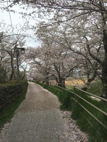 kusatsugawa-sakura9