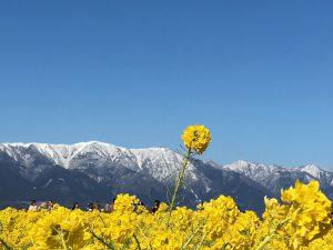 比良山と菜の花